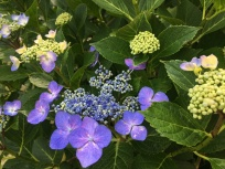 2017-06-27 14.47.50 purple hydrangeas
