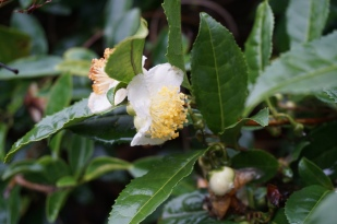 DSC04659 tea flowers