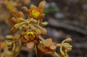 cyrtosia orchid by KS